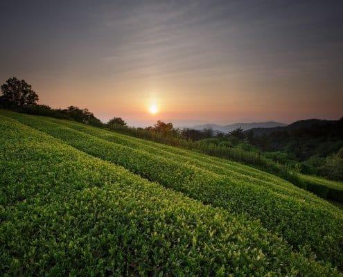 Wazuka Uji field sunset